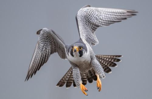 animal totem faucon