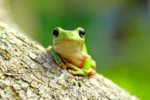 animal totem grenouille