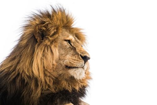 animal totem lion