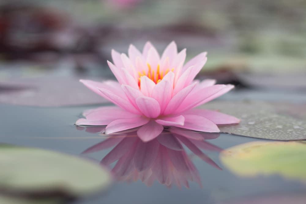 fleur lotus
