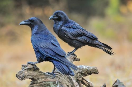 signe amerindien corbeau