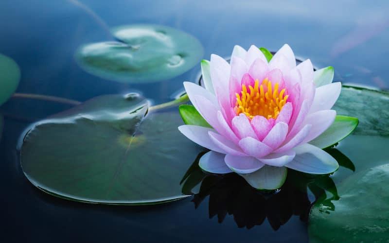 La fleur de Lotus : zoom sur un symbole sacré !